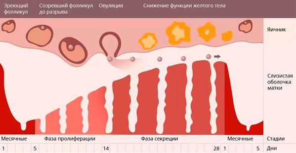 Длительность менструального цикла и яичниковый резерв